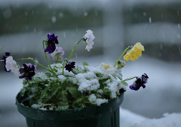 ビオラと雪