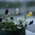 Photos: ビオラと雪