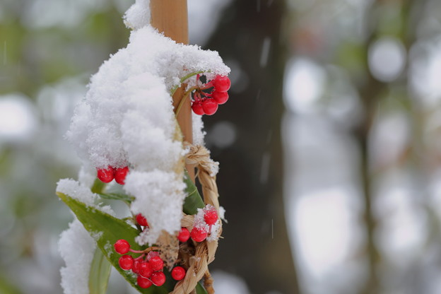 カラタチバナと新雪