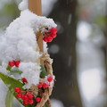 Photos: カラタチバナと新雪