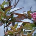 紫陽花の花 アラレ