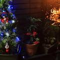 写真: クリスマスツリーとお正月の万両