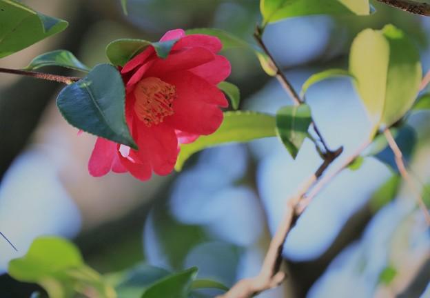 写真: お正月の兼六園 山茶花