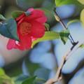 お正月の兼六園 山茶花