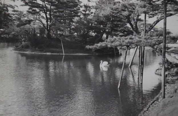 4~50年前の兼六園 霞ヶ池に白鳥