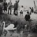 写真: 4~50年前の兼六園 曲水に白鳥