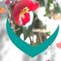 写真: 木瓜と雪帽子