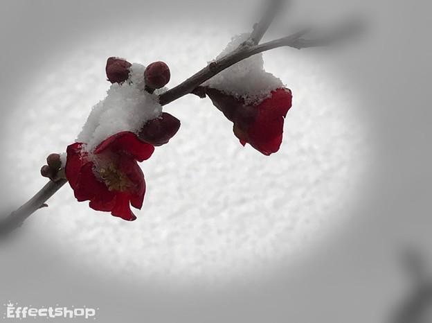 木瓜と庭の雪  冷たい雪帽子
