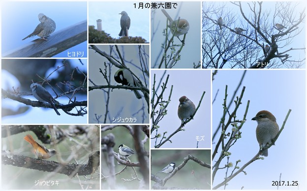 Photos: 1月の兼六園で 野鳥