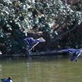 写真: カルガモの飛翔