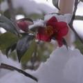 雪・椿(2)