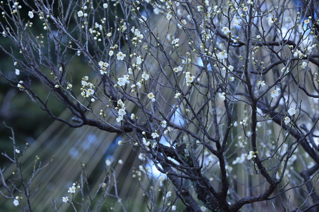 白梅と松の雪吊り