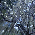 写真: 白梅と松の雪吊り