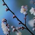 写真: 尾山神社 梅(3)