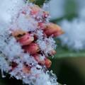 写真: 沈丁花 蕾と雪