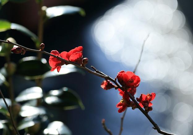 写真: 木瓜(1)
