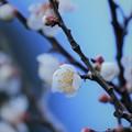 写真: 白梅(3)
