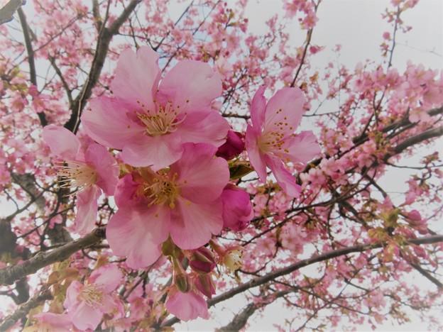 満開の河津桜(2)