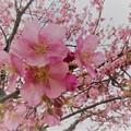 写真: 満開の河津桜(2)