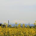 菜の花畑(3) 白山