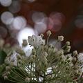 Photos: カルミア 白い花火のように^^