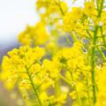 Photos: 菜の花