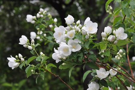 卯の花 20150516