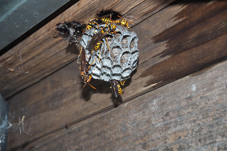 アシナガ蜂20160615