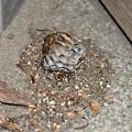 落下したアシナガ蜂の巣