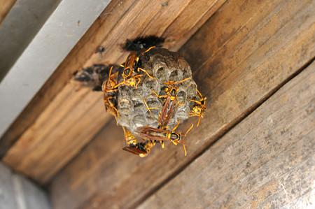 アシナガ蜂160716