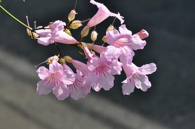 写真: ピンクノウゼンカヅラ (ポドラネア・リカソリアナ)