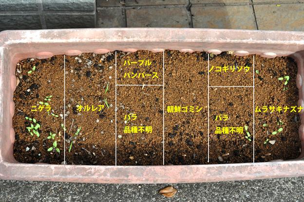 写真: 花の種 発芽