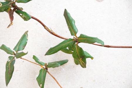 不明つる植物_2 (スイカズラ)