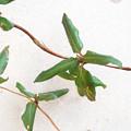写真: 不明つる植物_2 (スイカズラと判明)