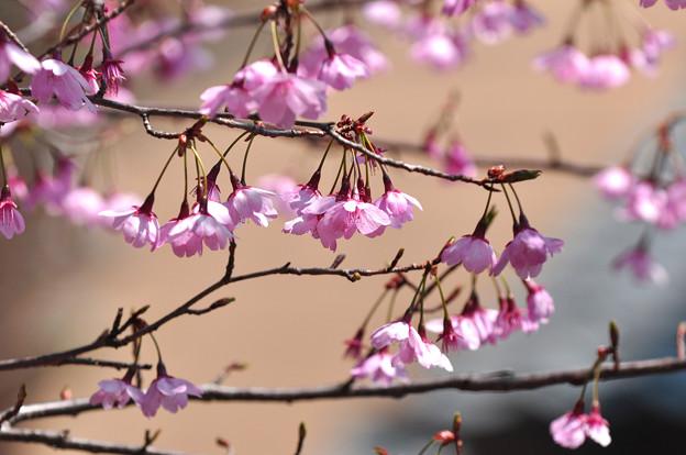 写真: 桜 20170402