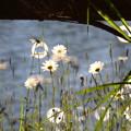 写真: 母子大池