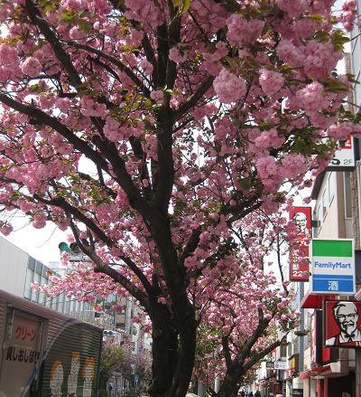 八重桜並木s