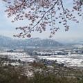 Photos: 11.12 桜と雪景色s