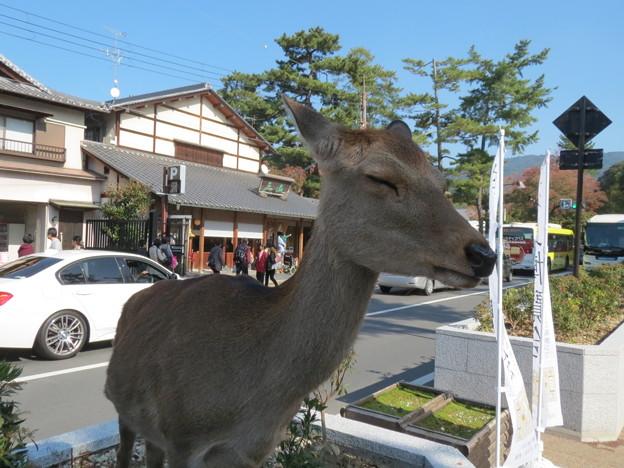 写真: 植え込みに鹿