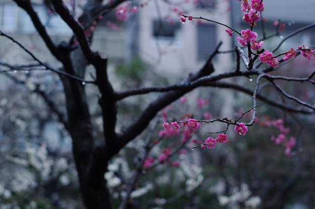 Photos: 早春の寒梅
