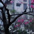 早春の寒梅