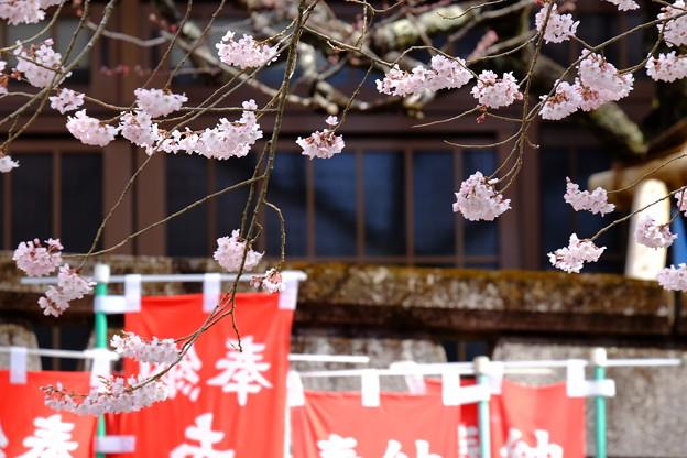 桜`15(久遠寺編)-19