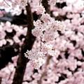桜`15(久遠寺編)-21