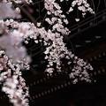 Photos: 桜`15(久遠寺編)-24