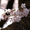 桜`15(久遠寺編)-25