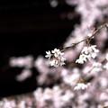 桜`15(久遠寺編)-26