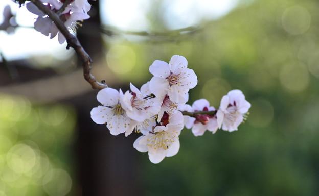 八雲神社の梅の花