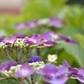 紫陽花段々