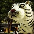 写真: 千代田のホワイト・タイガー