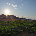 Photos: ほうれん草畑の夕